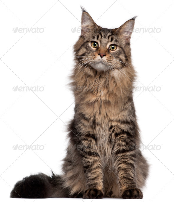 Maine Coon cat, 7 months old, sitting in front of white background - Stock Photo - Images