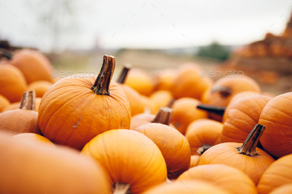 Fresh pumpkins in a pile. Halloween and Thanksgiving - Stock Photo - Images