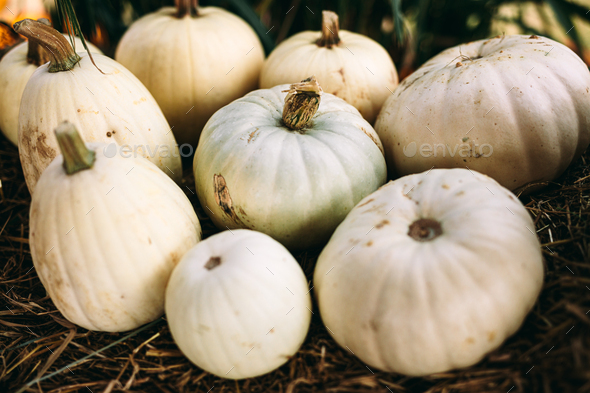 White pumpkins lying on hay. Halloween and Thanksgiving - Stock Photo - Images