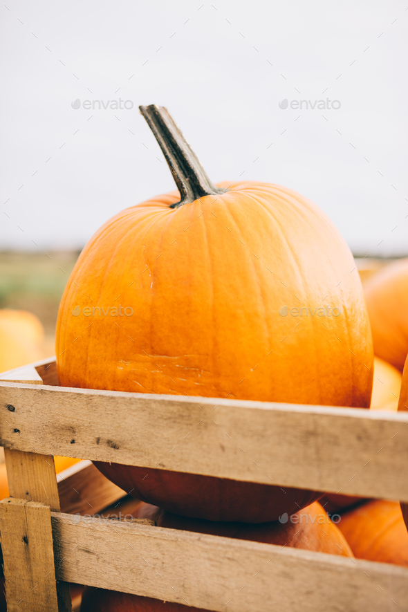 Harvested pumpkins in wooden crate on farm market. - Stock Photo - Images