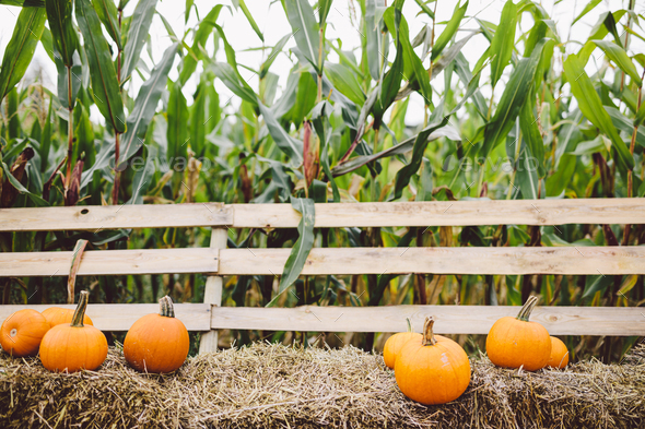 Pumpkins lying on hay on the farm. Halloween and Thanksgiving - Stock Photo - Images