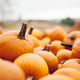 Fresh pumpkins in a pile. Halloween and Thanksgiving - PhotoDune Item for Sale