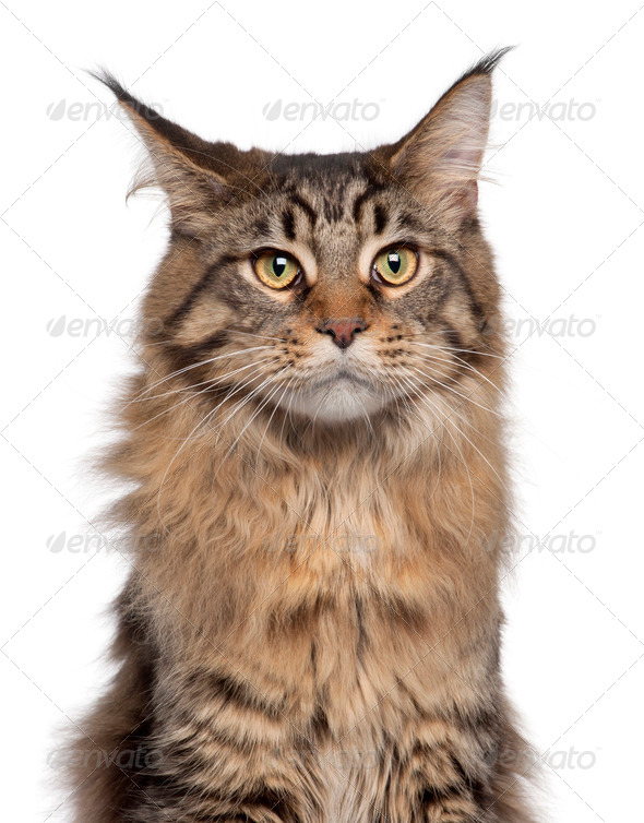 Close-up of Maine Coon cat, 7 months old, in front of white background - Stock Photo - Images