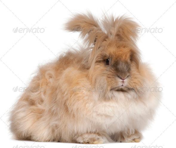 English Angora rabbit in front of white background - Stock Photo - Images