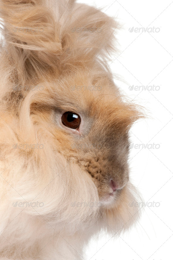 Close-up of English Angora rabbit in front of white background - Stock Photo - Images