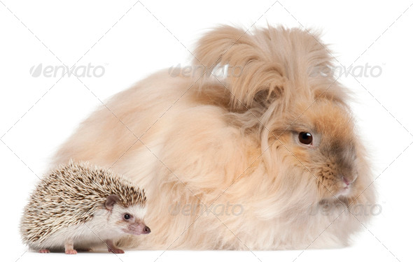 English Angora rabbit and a Four-toed Hedgehog, Atelerix albiventris, in front of white background - Stock Photo - Images