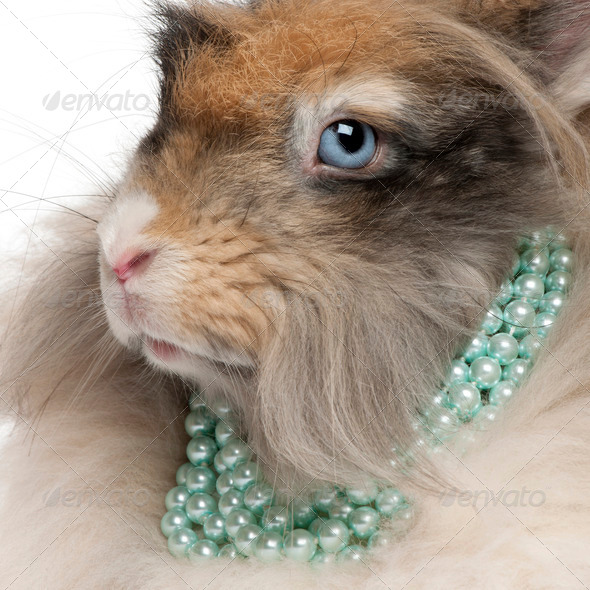 Close-up of English Angora rabbit wearing pearls in front of white background - Stock Photo - Images