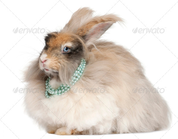English Angora rabbit wearing pearls in front of white background - Stock Photo - Images