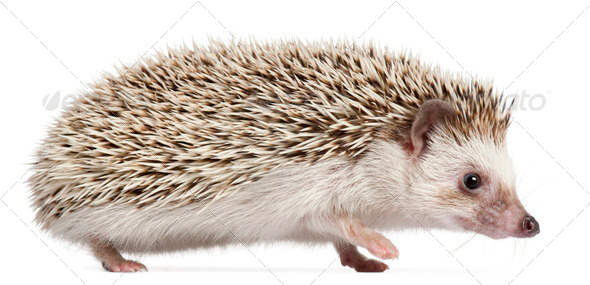 Four-toed Hedgehog, Atelerix albiventris, 6 months old, in front of white background - Stock Photo - Images