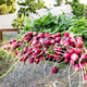 Bunches of fresh radishes at a farm market - PhotoDune Item for Sale