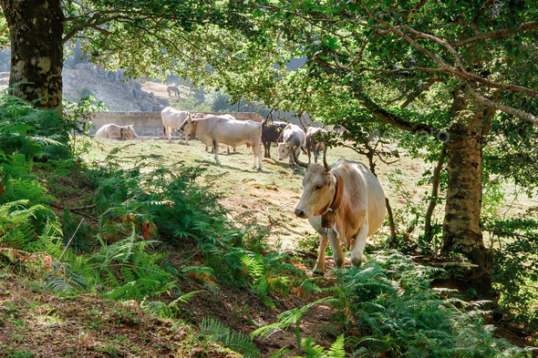 Podolic cows on the pasture on a sunrise - Stock Photo - Images
