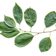 natural twig of cherry tree with green leaves - PhotoDune Item for Sale