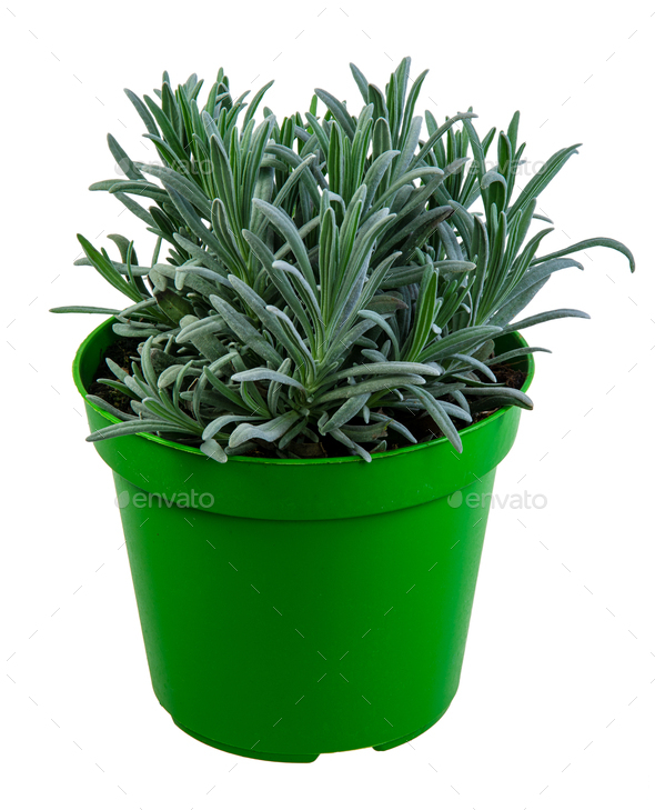 Isolated potted lavender plant - Stock Photo - Images
