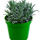 Isolated potted lavender plant - PhotoDune Item for Sale