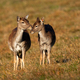 Fallow deer family touching on meadow in autumn - PhotoDune Item for Sale