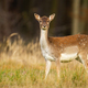 Alert fallow deer hind looking into camera on a meadow with forest in background - PhotoDune Item for Sale