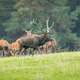 Red deer herd grazing on meadow in autumn nature - PhotoDune Item for Sale