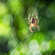 Spider on spider web on blurred green trees background - PhotoDune Item for Sale