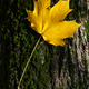 Yellow maple leaf on tree trunk, fall concept. - PhotoDune Item for Sale