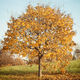 Autumn landscape with orange autumn oak tree - PhotoDune Item for Sale
