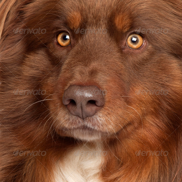 Close-up of Australian Shepherd dog - Stock Photo - Images