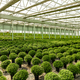 Round bush chrysanthemums - PhotoDune Item for Sale