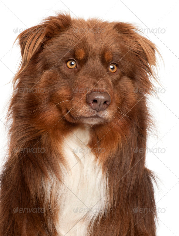 Close-up of Australian Shepherd dog in front of white background - Stock Photo - Images