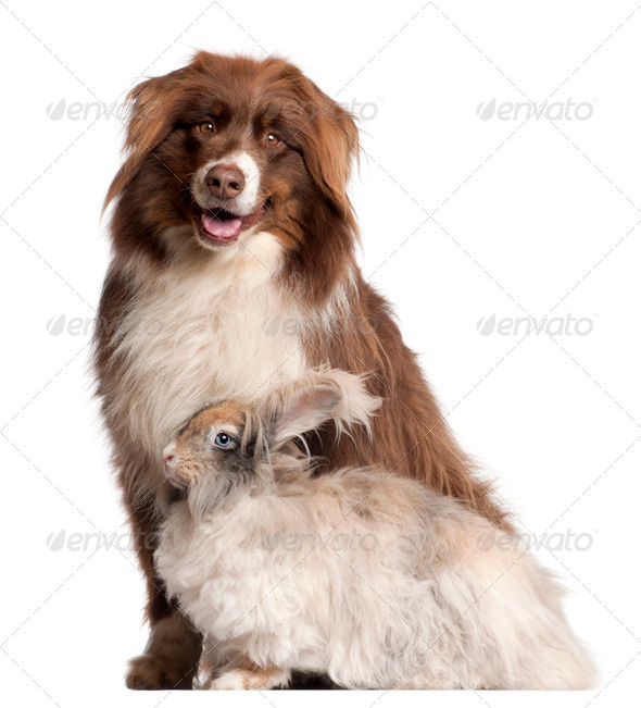 Australian Shepherd dog and English Angora rabbit in front of white background - Stock Photo - Images