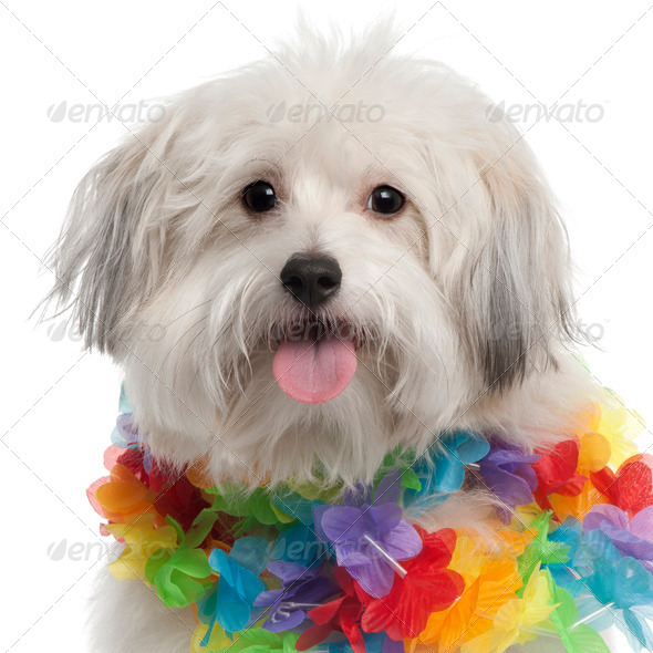 Close-up of Mixed-breed dog, 10 months old, wearing Hawaiian lei in front of white background - Stock Photo - Images