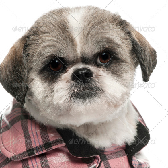 Close-up of Shih Tzu, 6 years old, in front of white background - Stock Photo - Images