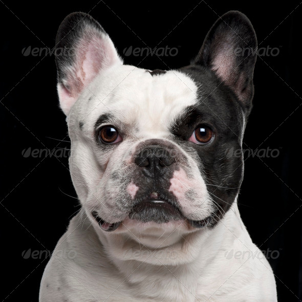 French Bulldog, 3 years old, in front of black background - Stock Photo - Images