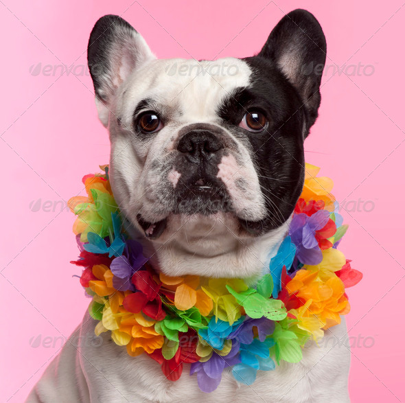 French Bulldog, 3 years old, wearing Hawaiian lei front of pink background - Stock Photo - Images