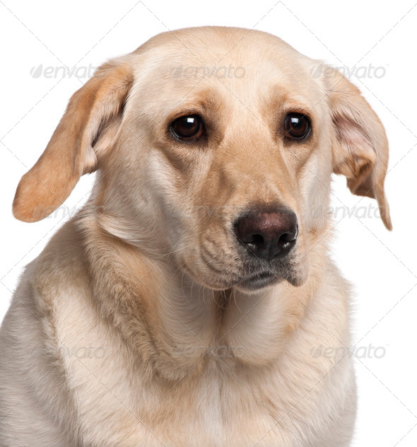 Close-up of Labrador Retriever, 11 months old, in front of white background - Stock Photo - Images