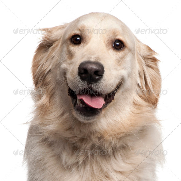 Close-up of Golden Retriever, 2 years old, in front of white background - Stock Photo - Images