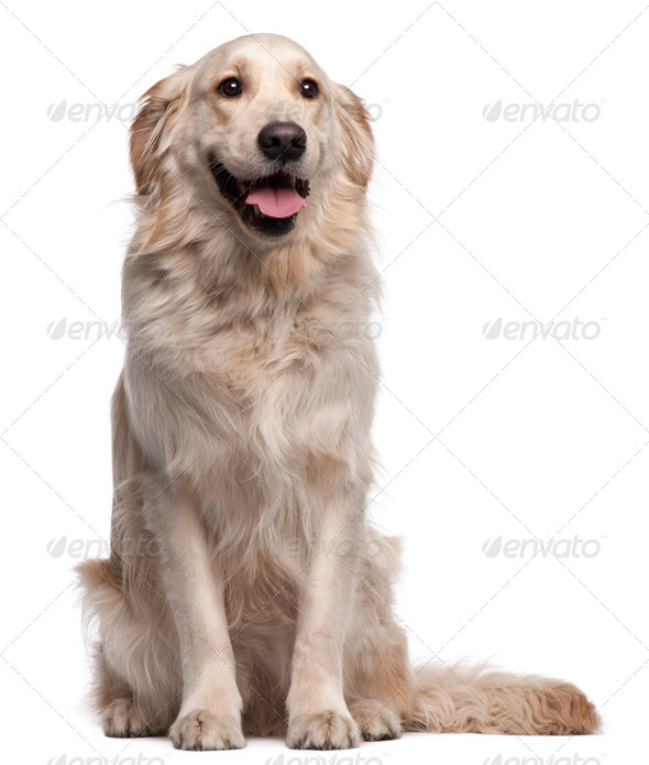 Golden Retriever, 2 years old, sitting in front of white background - Stock Photo - Images