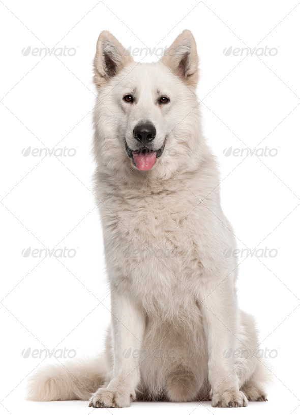 Berger Blanc Suisse, 2 years old, sitting in front of white background - Stock Photo - Images
