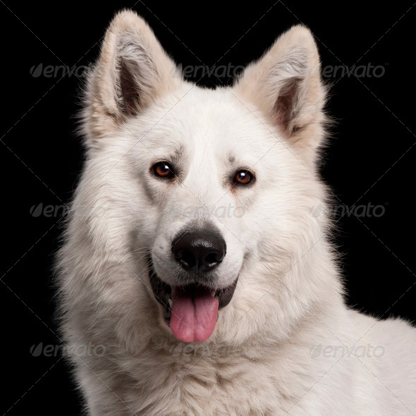 Close-up of Berger Blanc Suisse, 2 years old, in front of black background - Stock Photo - Images