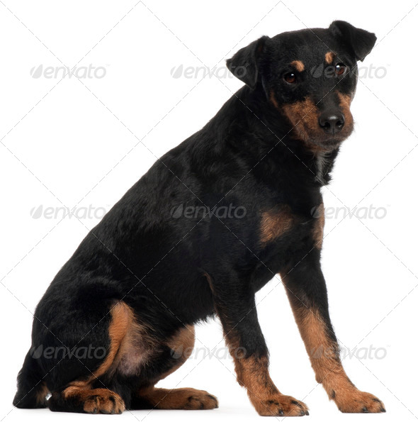 Jagdterrier or German Hunt Terrier, 4 years old, sitting in front of white background - Stock Photo - Images