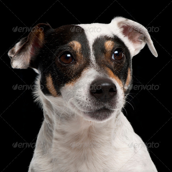 Close-up of Jack Russell Terrier, 10 years old, in front of black background - Stock Photo - Images