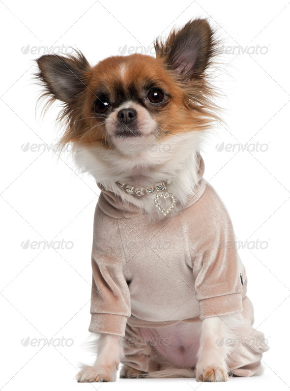 Chihuahua, 2 years old, dressed up sitting in front of white background - Stock Photo - Images