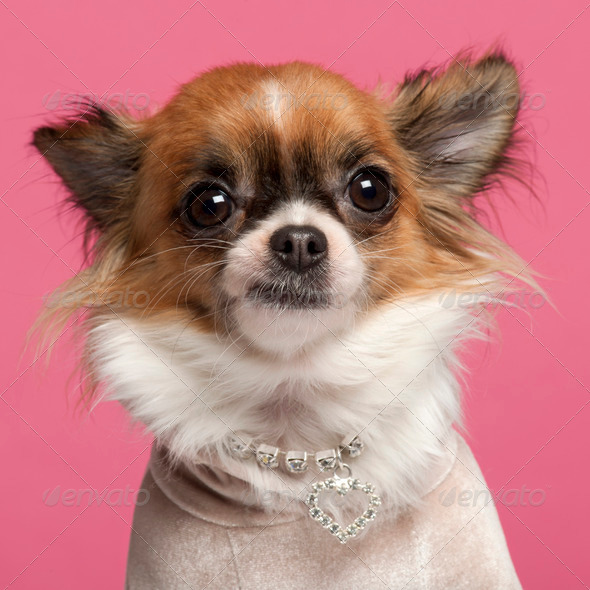Close-up of Chihuahua, 2 years old, with diamond collar in front of pink background - Stock Photo - Images