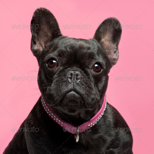 Close-up of French bulldog, 2 years old, wearing collar in front of pink background - Stock Photo - Images