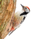Middle spotted woodpecker sitting on tree cut out on blank - PhotoDune Item for Sale