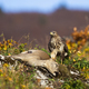 Common buzzard hunting doe in mountains in autumn - PhotoDune Item for Sale