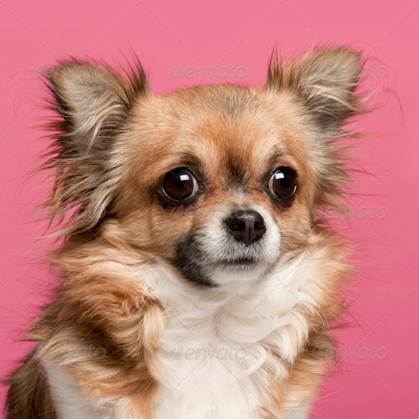 Close-up of Chihuahua, 3 years old, in front of pink background - Stock Photo - Images