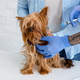 Dog vaccinations. Veterinarian doctor making injection to Yorkshire terrier at medical office - PhotoDune Item for Sale