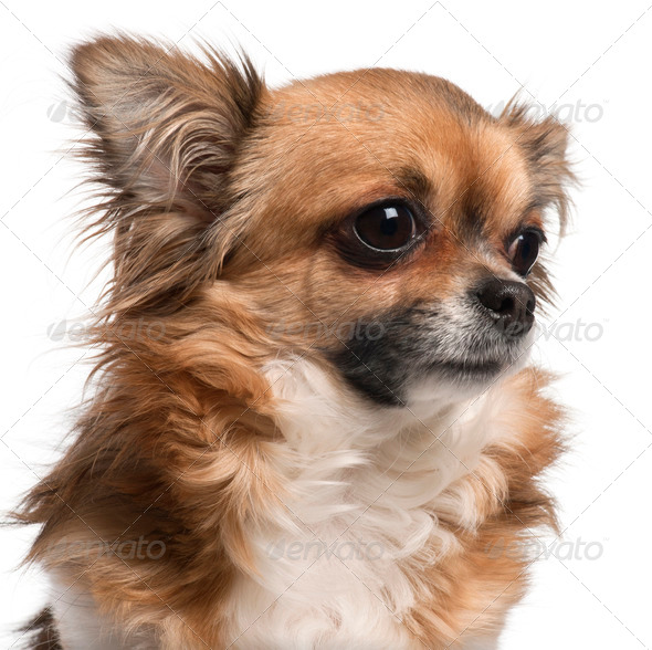 Close-up of Chihuahua, 3 years old, in front of white background - Stock Photo - Images