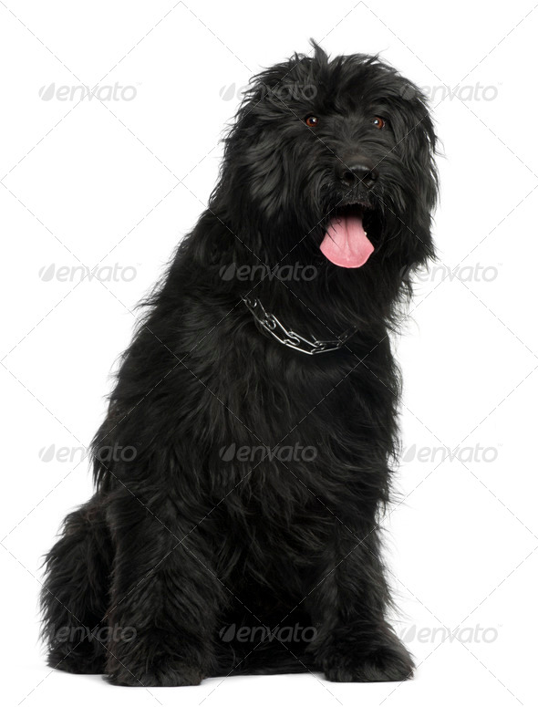 Briard, 3 years old, sitting in front of white background - Stock Photo - Images