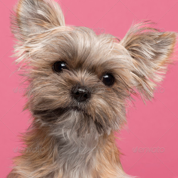 Close-up of Mixed-breed dog, 7 months old, in front of pink background - Stock Photo - Images