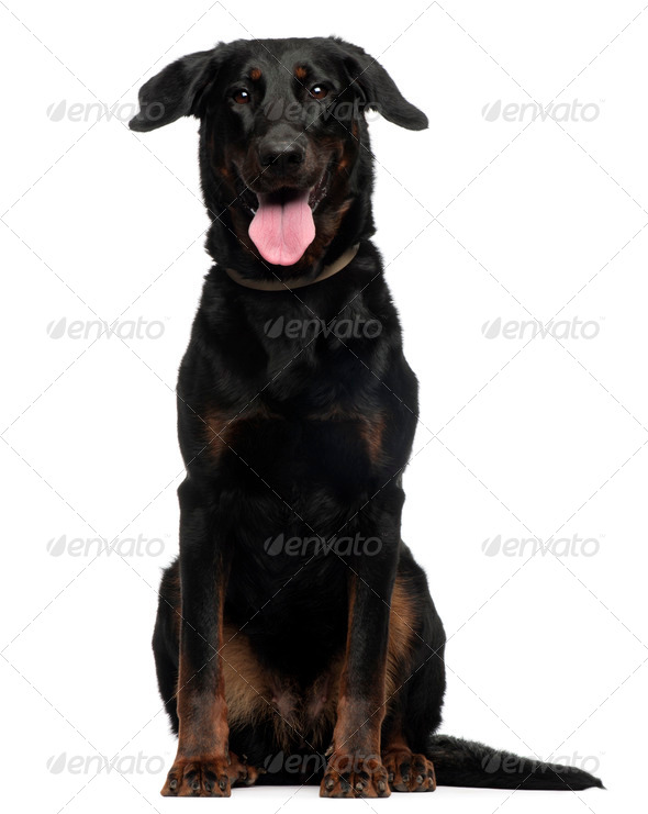 Beauceron, 2 Years old, sitting in front of white background - Stock Photo - Images